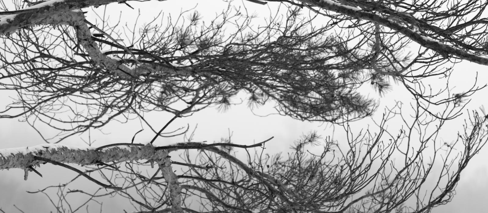 Haliburton highlands, pine branches.